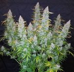 Auto Californian Snow fem (5-1000 seeds)