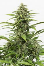 Auto Critical + fem (10-1000 seeds) ― GrowSeeds