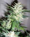 Auto Great White Shark fem (5-1000 seeds)