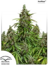 Auto Mazar fem (5-1000 seeds) ― GrowSeeds