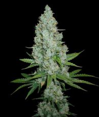 Auto Amnesia Lemon fem (5-1000 seeds) ― GrowSeeds