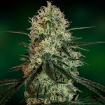 Chronic Thunder feminised (1 seeds)