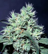 Dutch Dragon feminised (5-1000 seeds) ― GrowSeeds