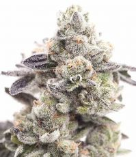 Girl Scout Cookies usa feminised (5-1000 seeds) ― GrowSeeds