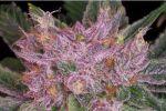 Grape Krush Reg (10 seeds)