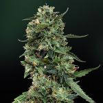 LSD feminised (5-1000 seeds)