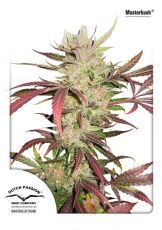 Masterkush feminised (5-1000 seeds) ― GrowSeeds