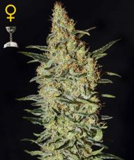 Neville's Haze feminised (5-1000 seeds) ― GrowSeeds