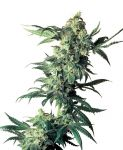 Northern Lights feminised (5-1000 seeds)