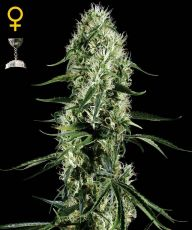 Super Silver Haze feminised (5-1000 seeds) ― GrowSeeds