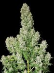 White Russian feminised (5-1000 seeds)