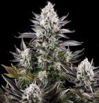 White Widow feminised (5-1000 seeds)