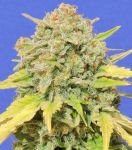 Zkittlez usa feminised (5-1000 seeds)